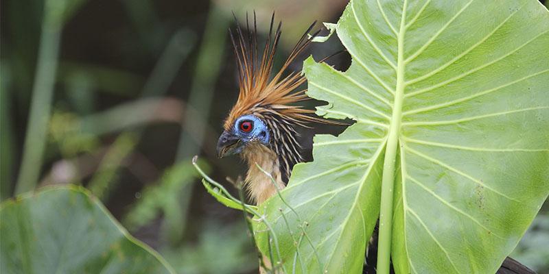 Llanos Orientales & Amazonian Piedmont?>