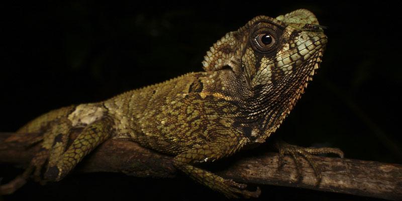 Reptiles of Magdalena Herping Tour
